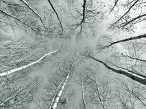 Arbres de bouleau en bois Image stock
