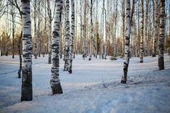 Arbres de bouleau en hiver Photos stock