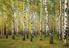 Arbres de bouleau ensoleillés d'automne Images stock