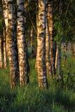 Arbres de bouleau Forest Nature en Pologne Photographie stock libre de droits
