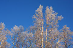 Arbres de bouleau givrés dans une forêt d'Alaska Image stock