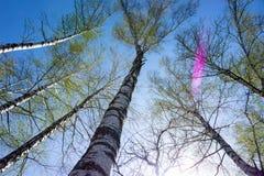 Arbres de bouleau grands dans la forêt sous le ciel bleu, vue de perspective inférieure photo libre de droits