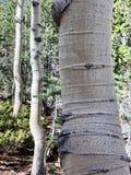 Arbres de bouleau le long des traînées des montagnes Forest National Park, Nevada de ressort photos stock