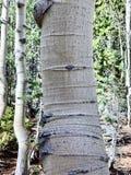 Arbres de bouleau le long des traînées des montagnes Forest National Park, Nevada de ressort photographie stock libre de droits
