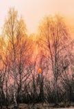 Arbres de bouleau nus au coucher du soleil Image stock