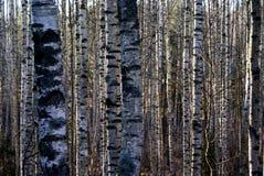 Arbres de bouleau pendant l'automne Photo stock