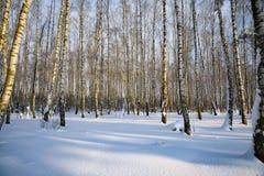 Arbres de bouleau pendant l'hiver dans la neige image libre de droits