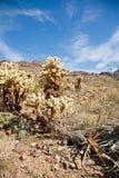 Arbres de cactus de l'Arizona Image stock