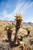 Arbres de cactus de l'Arizona Photos libres de droits