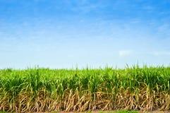 Arbres de canne à sucre Photographie stock