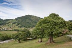 Arbres de châtaigne dans la campagne de Navarra Photo stock