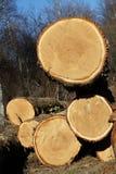 Arbres de chêne abattus pour le bois de construction Photographie stock libre de droits