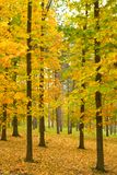 Arbres de chêne en stationnement d'automne photos stock