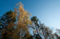 Arbres de ciel, verts et jaunes bleus Images libres de droits