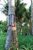 Arbres de Coconut de garde Image stock