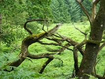 Arbres de combat dans la forêt de Galloway Photographie stock libre de droits