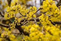 Arbres de cornouiller de floraison Fleurs jaunes photo libre de droits