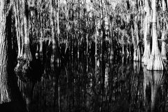 Arbres de Cypress contrastés Photo libre de droits