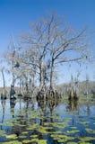 Arbres de Cypress et lilypads Photographie stock libre de droits