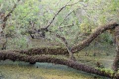 Arbres de Cypress horizontaux sur le marais à la conserve de Slough Images stock