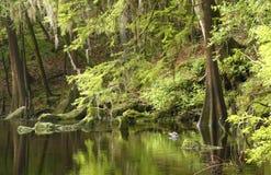 Arbres de Cypress le long d'un fleuve, côté, Photo libre de droits