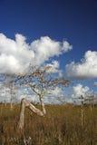 Arbres de Cypress nains Image libre de droits