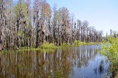 Arbres de Cypress restant sur le bord de l'étang de la Floride Image libre de droits
