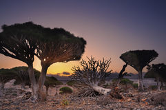 Arbres de dragon de vallée au coucher du soleil yemen Île de Socotra Photos stock
