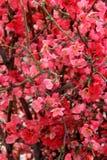 Arbres de fleur de ressort Photo libre de droits