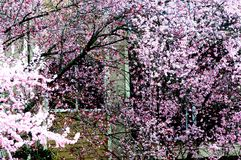 Arbres de fleurs de cerisier photos libres de droits