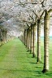 Arbres de fleurs de cerisier Photo libre de droits