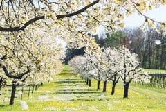 Arbres de fleurs de cerisier photographie stock