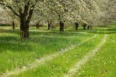 Arbres de fleurs de cerisier de ressort Images libres de droits