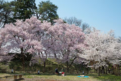 Arbres de fleurs de cerisier en parc de château de Tsuruga Photos libres de droits
