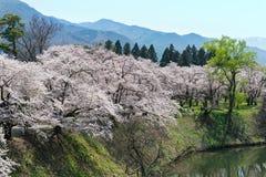 Arbres de fleurs de cerisier en parc de château de Tsuruga Image stock