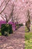Arbres de fleurs de cerisier en pleine floraison Photo libre de droits