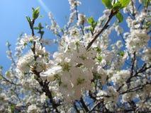 Arbres de floraison Photos stock