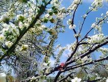 Arbres de floraison Photos libres de droits