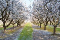 arbres de floraison d'amande Image libre de droits