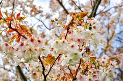 Arbres de floraison dans le jardin botanique de Kew au printemps, Londres, R-U photo libre de droits