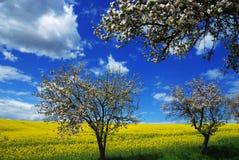 arbres de floraison de viol image libre de droits