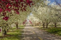 Arbres de floraison de pomme sauvage rayant le chemin de vélo Image libre de droits