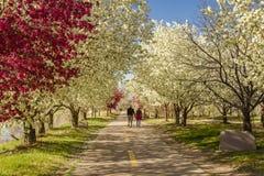 Arbres de floraison de pomme sauvage rayant le chemin de vélo Images stock