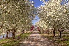 Arbres de floraison de pomme sauvage rayant le chemin de vélo Photographie stock