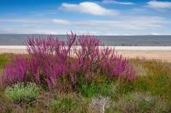Arbres de floraison de saksaul dans les plaines inondables photo stock