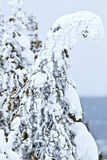 Arbres de Ghost en parc de Yellowstone Photo stock