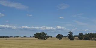 Arbres de gomme d'eucalyptus dans la prairie de fauche près de Parkes, Nouvelle-Galles du Sud, Australie Images stock