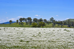 Arbres de gomme d'eucalyptus derrière le pré de fleur près de Parkes, Nouvelle-Galles du Sud, Australie Image stock
