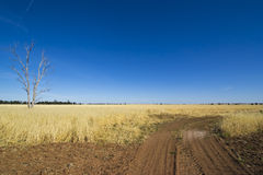 Arbres de gomme d'eucalyptus près de cendrée dans la prairie de fauche près de Parkes, Nouvelle-Galles du Sud, Australie Photo stock