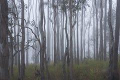 Arbres de gomme en brouillard de début de la matinée Image libre de droits